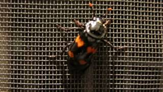American Burying Beetle in Winnipeg Manitoba Canada August 25th 2016