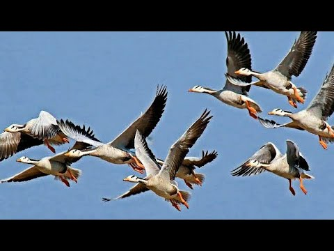 Migratory Bar headed Goose in India Video by Shirishkumar Patil