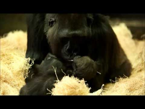 Two Baby Gorillas at Chicago's Lincoln Park Zoo