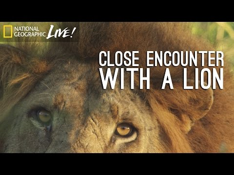 A Park Reborn: Close Encounter With A Lion - Nat Geo Live