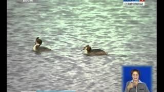 видео как ловят уток