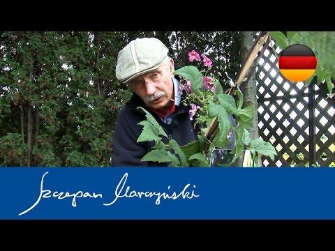 Clematis - Waldreben Pflanzung