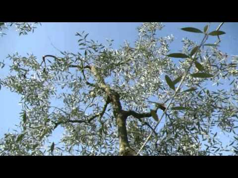 How to prune an Olive tree in 30 seconds Music Videos