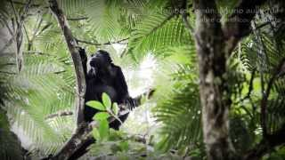 Alouatta ( mono aullador ) Holy Land heredia