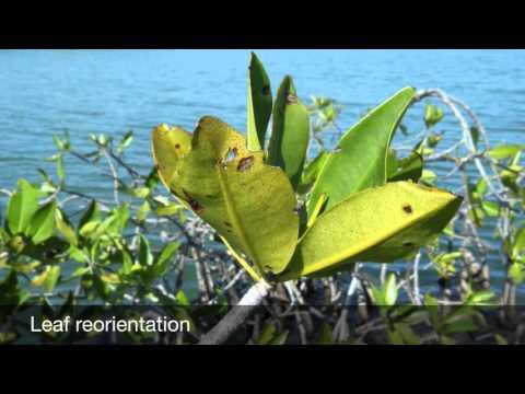 Mangrove Adaptations: Light