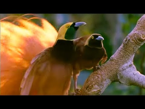 Male Birds Of Paradise: Colourful Sperm Banks - Battle Of The Sexes In The Animal World - Bbc video