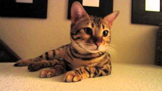 Adorable Bengal Kitten Purr Meow
