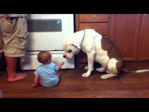 Baby And American Bulldog Youtube