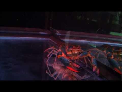 Freshwater Lobster &amp  Rtg Arowana