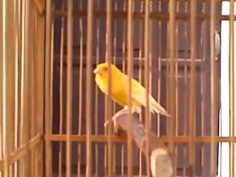 Kicau Burung Kenari video