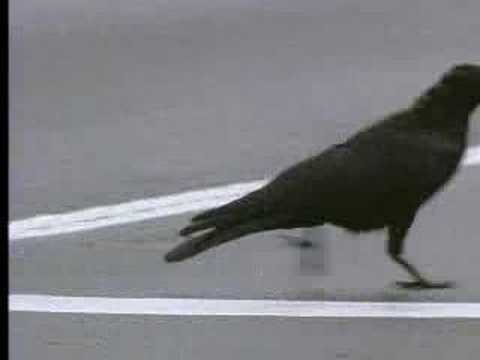 Wild crows inhabiting the city use it to their advantage - David Attenborough - BBC wildlife Video