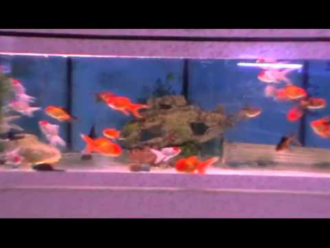Poisson rouge oranda youtube for Tarif poisson rouge