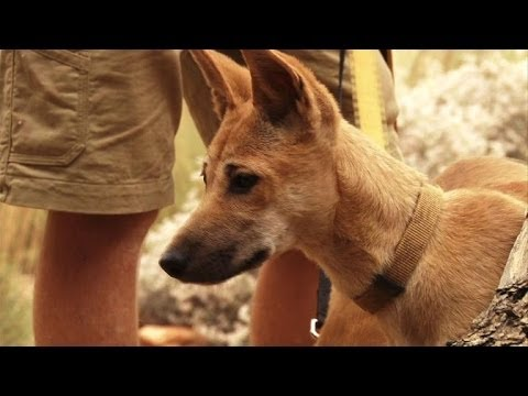 Dogs Facing Extinction Australia's Wild Dog Faces