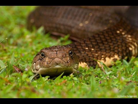 Королевская кобра (лат. Ophiophagus hannah)