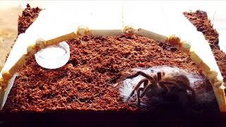 Cận cảnh nhện Tarantula lột xác