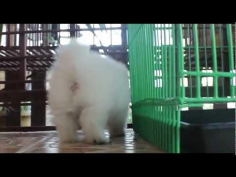 น้องปอมหมีขาวทีคัพ by Emmy Gold #39 [HD]