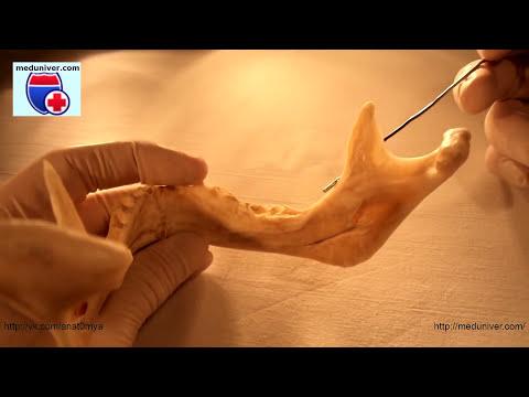 Mandibula. Нормальная анатомия нижней челюсти - meduniver.com