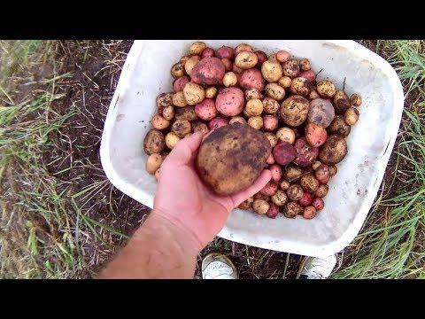Садим картошку в траву,просто под СОЛОМУ ч.3(результат)