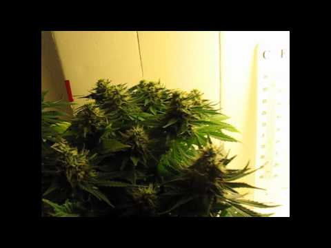 Week 12 - Indoor Marijuana Stealth CFL Cardboard Grow Box (flower week 7)