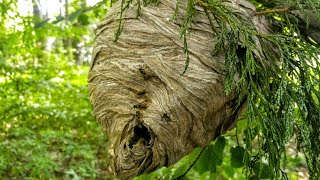 Yellow Jacket HUGE Nest SWARM paper wasp relocation