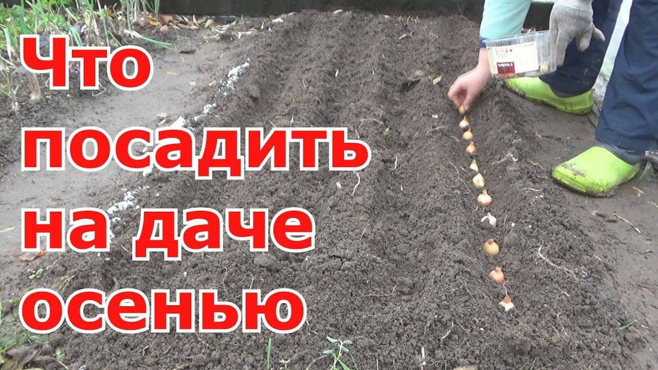 Сажать морковь с укропом 44
