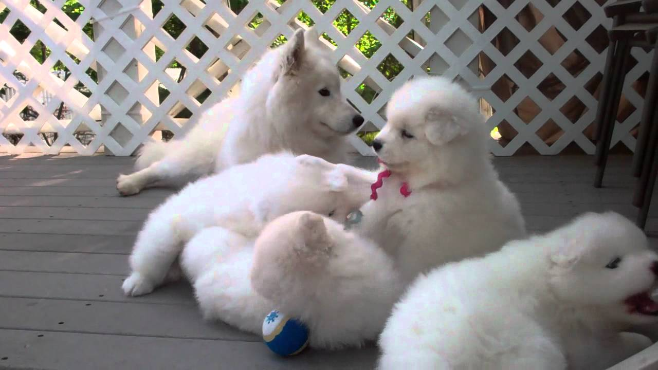 samoyed puppies 37 days old   manners   youtube