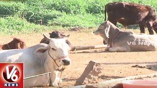 Success Story Of Organic Farmer Jithender Reddy | Domestic Cow Breeding | Sagubadi