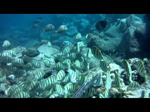 Convict Tang Wiki Convict Tangs Trumpetfish