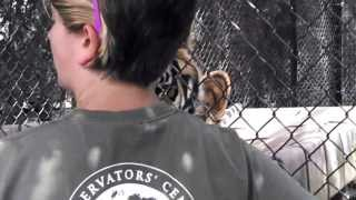 Tonka Tiger grunts at the Conservators Center