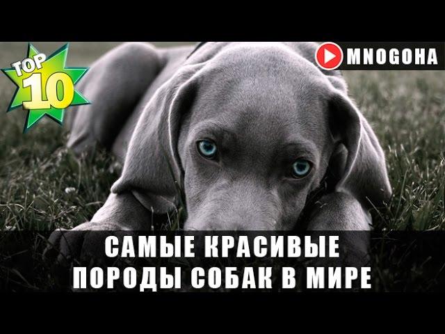 Топ 10 самых красивых пород собак kichery