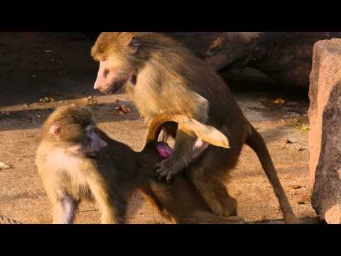Baboons Having Sex At The Kölner Zoo video
