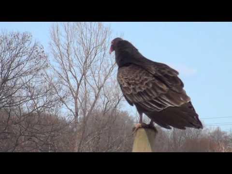 Big Turkey Vulture Sitting On Grape Post