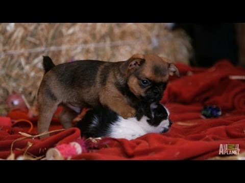 Grumpy Humphrey the Puppy Loves Kittens | Too Cute: Holiday Special