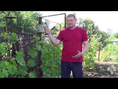 Работы на винограднике перед цветением. Виноград 2018.