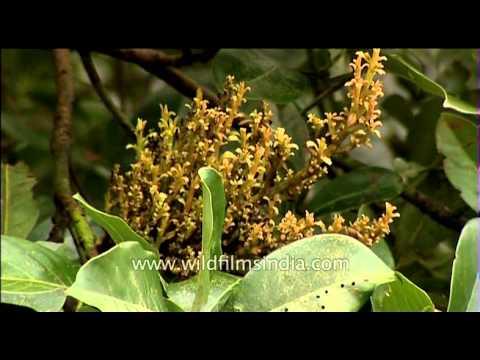 Flower of mango tree