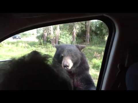 Un oso aterroriza a una familia al abrir la puerta de su auto