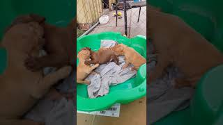 Rednose puppies fight