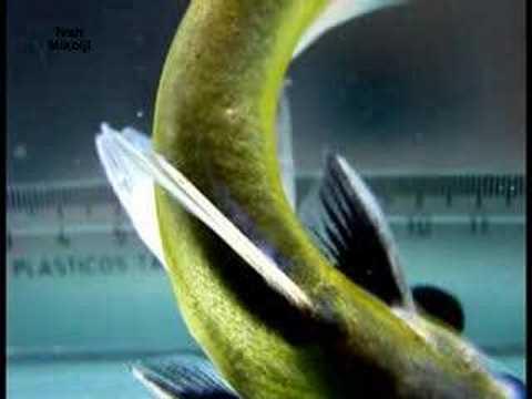 Header of Auchenipterus