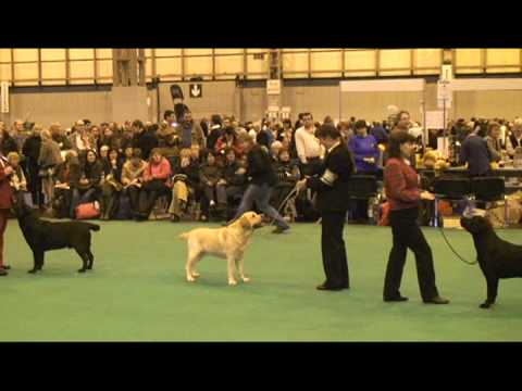 Crufts 2009 Labrador Dog Judging Video