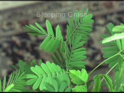 Mimosa Pudica - The Sensitive Plant
