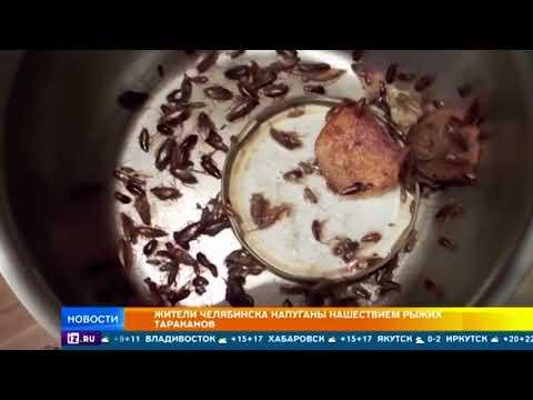 Жители Челябинска напуганы нашествием тараканов