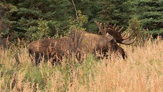 Big Horny Moose! - September 1st, 2014