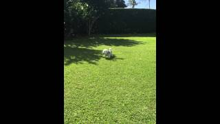 Sir Tom, 16 months old Malagasy Coton de Tulear butterfly chasing and leaping