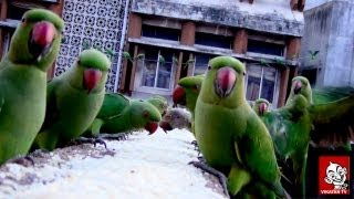 Parrots sanctuary in Chennai -  Every day, hundreds of Parrots make a visit to Royapettah