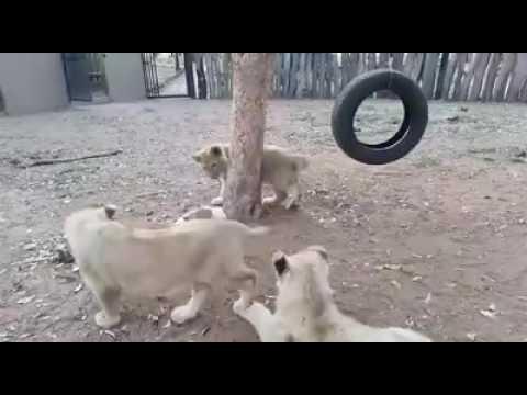 Un perrito se enfrentó a tres leones para defender su comida
