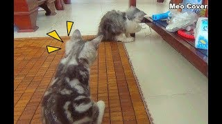 Kittens Cat Play Around Home | Funny Cat And Kittens 2018 | Meo Cover Home