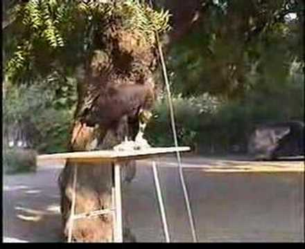 Cinereous vulture raptor rehabilitation Video