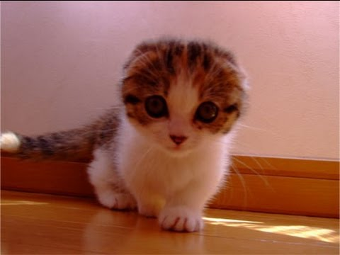Pictures Of Short Legged Cats