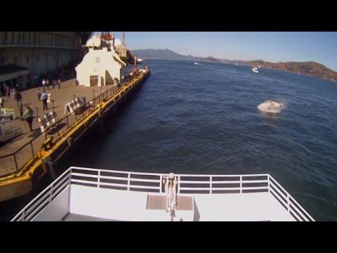 White Shark Attack in SF -  White Shark Attack in Alcatraz 10.10.2015 - Uncut - Massive Blood