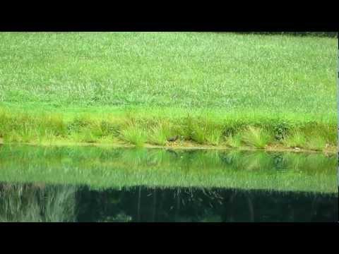 Fishing report - Green Heron stalking, striking and slurping. Video